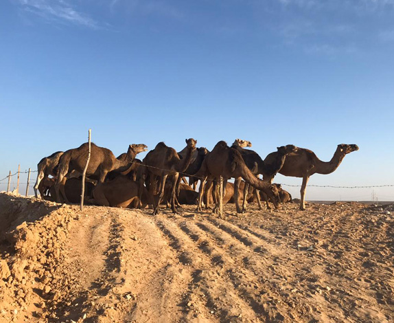 camel-farm
