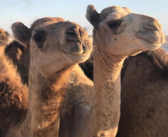 camel-farm2