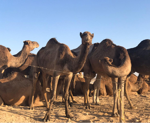 camel-farm3