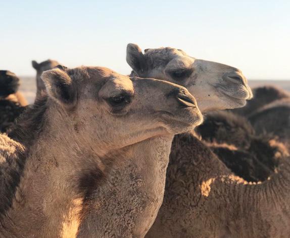 camel-farm4