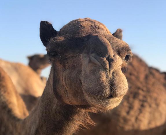 camel-farm5