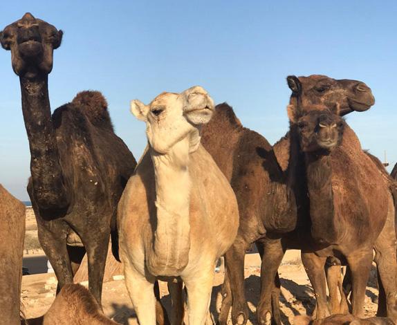 camel-farm6